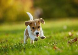 251226 Jack Russell Terrier Puppy  WALL PRINT POSTER US