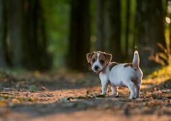 251517 Adorable Jack Russell Terrier Dog Forest  WALL PRINT POSTER US