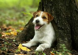 252079 Jack Russell Terrier Dog Puppy Pet Animal  WALL PRINT POSTER US