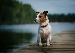 251882 Cute Jack Russell Terrier Dog Puppy Funny  WALL PRINT POSTER CA