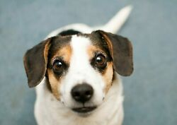 251516 Cute Jack Russel Terrier Puppy Dog Animal  WALL PRINT POSTER CA
