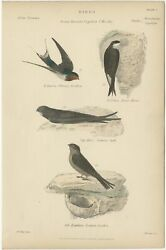 Pl. 5 Antique Bird Print Of The House Martin And Other Birds By Richardson C.18