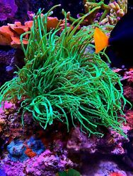 Coral Frag Ultra Indo Todds Torch Rare Super Long Tentacle Euphyllia Hammer LPS