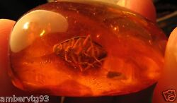 Natural Baltic Amber 10 G Fossil Insect Marine Big Beetle Inclusion Pendant