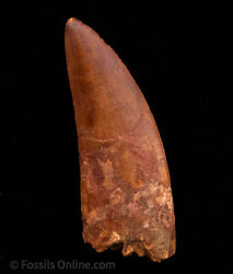 Xlg Carcharodontosaurus Tooth not T. Rex. Theropod Dinosaur 4.12