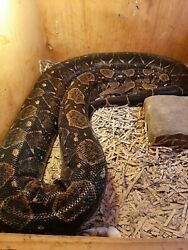 90 Ball Python/colombian Boa Snake Skin - One Piece Excellent No Snake