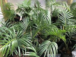 Sago Palm 3yr Old $8.95 TOTAL shipping $15.00