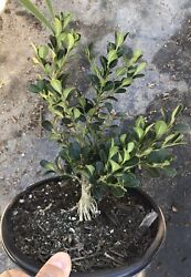 Japanese Boxwood For Mame Shohin Bonsai Exposed Roots Live Plant 1g