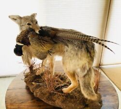 Coyote Taxidermy Museum Quality W/ Pheasant Full Sized - Look