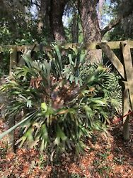 2 Staghorn Fern Hanging Plant 45yrs Old,6x6 Ready For Pickup, Chain Present.