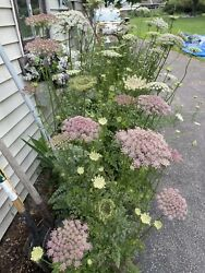 Dara Queen Anneandrsquos Lace Wild Carrot Seeds