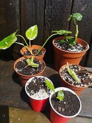 Variegated Plant Propagation Package - Variegated Monsteras And White Princesses