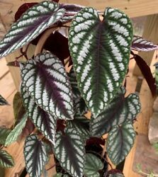 Rare Cissus Discolor Fast Growing Vining/hanging Plantnot For Ca