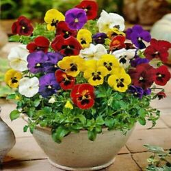 Pansy Flower- Mix Colors - 100 Fresh Garden Seeds+ Free Shipping From Usa