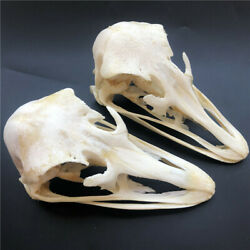 2 pcs Real Ostrich Skull collectable Animal Taxidermy educational specimens