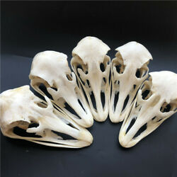 5 pcs Real Ostrich Skull collectable Animal Taxidermy educational specimens