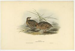 Antique Bird Print Of The Common Quail By Gould 1832