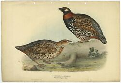 Antique Bird Print Of The Black Francolin By Gould 1832