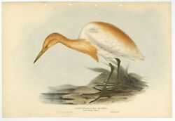 Antique Bird Print Of The Cattle Egret By Gould 1832