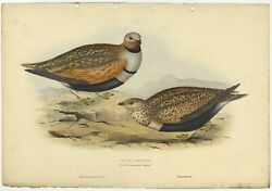 Antique Bird Print Of A Sandgrouse By Gould 1832