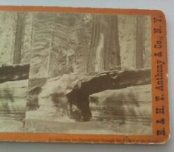 Mammoth Trees California Anthony Stereoview Photo 6 Equestrian Gateway Father