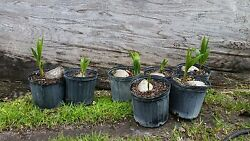 1 Coconut Palm Tree sprouted Malayan $15.99