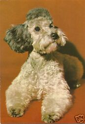 Original Vintage 1970s Large German PC- Dog- Poodle Terrier Mix