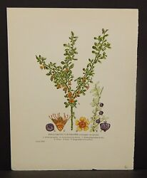 Small-leaved Cotoneaster Botanical C.1885 C301