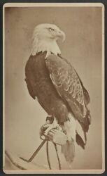 8 X 10 1876 Old Abe The Live War Eagle Of Wisconsin From The Centennial