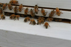 🎃✅ 24 Real Fresh Honey Bees Dried Suitable For Photography Taxidermy Painting
