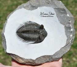 Ultra Rare Spiny Tower-eyed Erbenochile Trilobite Fossil From Devonian