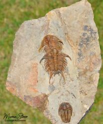 Museum Quality Double Foulonia And Euloma Trilobite Fossils - Great Opportunity