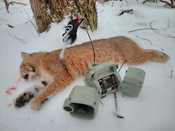 Guided Maine Bobcat Hunt