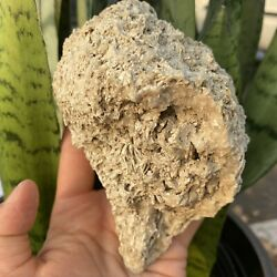 Fossil Whelk -busycon Rucksorum- Rucks Pit, Fl May Contain Calcite Crystals