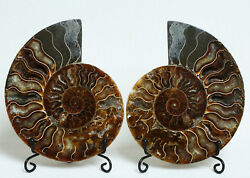A1787-511g A Pairs Natural Conch Slice Polished Fossil Madagascar+stand