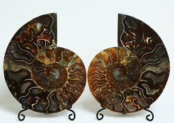 A1790-689g A Pairs Natural Conch Slice Polished Fossil Madagascar+stand