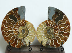 A1785-752g A Pairs Natural Conch Slice Polished Fossil Madagascar+stand