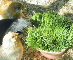 CHICKEN OATS for your backyard chickens SEED 3 lbs feed greens