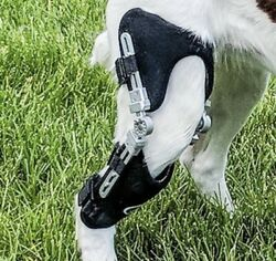 Brand New Caerus K9 Ccl Stifle Brace For Large Dog Left Rear Leg Acl Stability