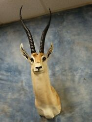 4 All Time Record Book African Peterand039s Gazelle Taxidermy Mount Horns Home Decor