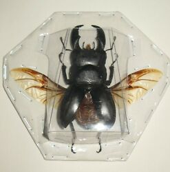 Real giant stag beetle Dorcus titanus spread beetles for frame insect art