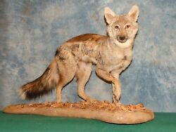 East African Silver Back Jackal Taxidermy Full Mount Home Hunting Lodge Decor