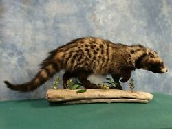 Beautiful African Civet Cat Quality Taxidermy Mount Home Hunting Lodge Decor