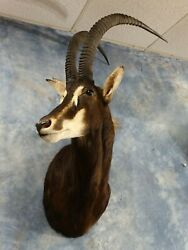 Beautiful East African Sable Antelope Taxidermy Quality Mount Horns Skull Decor