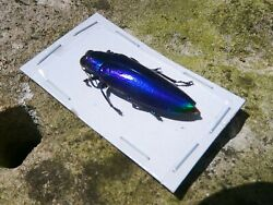 Insect Full Data Species 1 1/4+ Inches A 1 Chrysochroa Fulminans Color