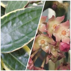 2 Node Cutting Hoya Macrophylla Easy Keeper Roots Very Easy Free Shipping