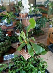 Staghorn Fern 4 Hanging Plant Exotic House Plant