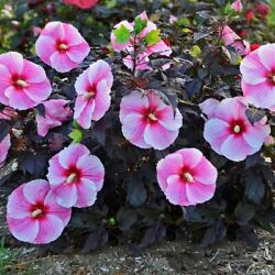 Bush Hibiscus Starry Starry Night Flower Hardy 2.5 Pot = 1 Live Potted Plant