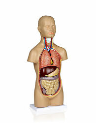 Parco Scientific Pb00003 12 Parts Sexless Human Torso | Showing Section Of Brain