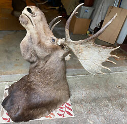 Taxidermy Moose Head Large Wall Mount Beautiful Message For More Details